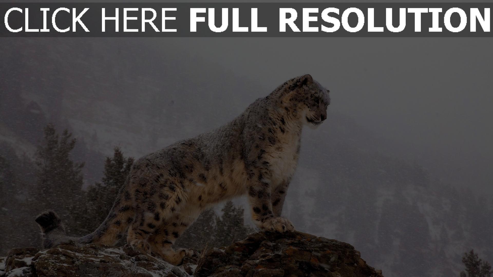 fond d'écran 1920x1080 léopard des neiges montagne himalaya gros plan