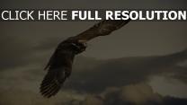 faucon aile vol nuageux