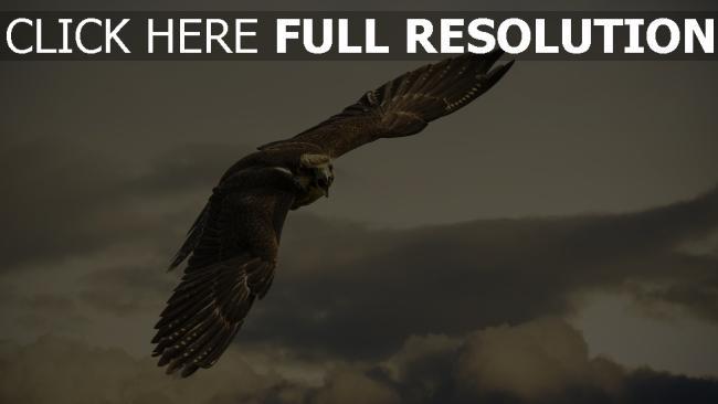 fond d'écran hd faucon aile vol nuageux