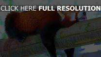 panda rouge langue branche dormir