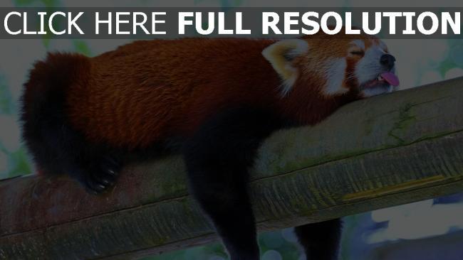 fond d'écran hd panda rouge langue branche dormir