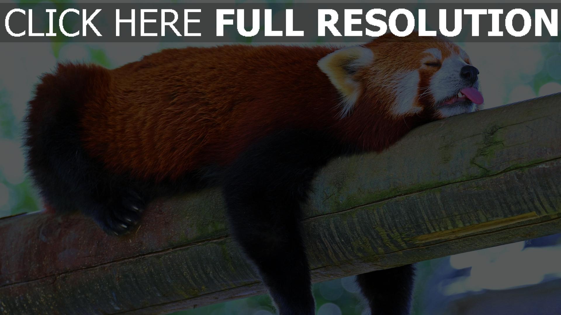 fond d'écran 1920x1080 panda rouge langue branche dormir