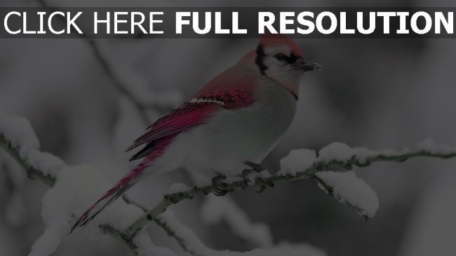 fond d'écran hd oiseau rose branche enneigé