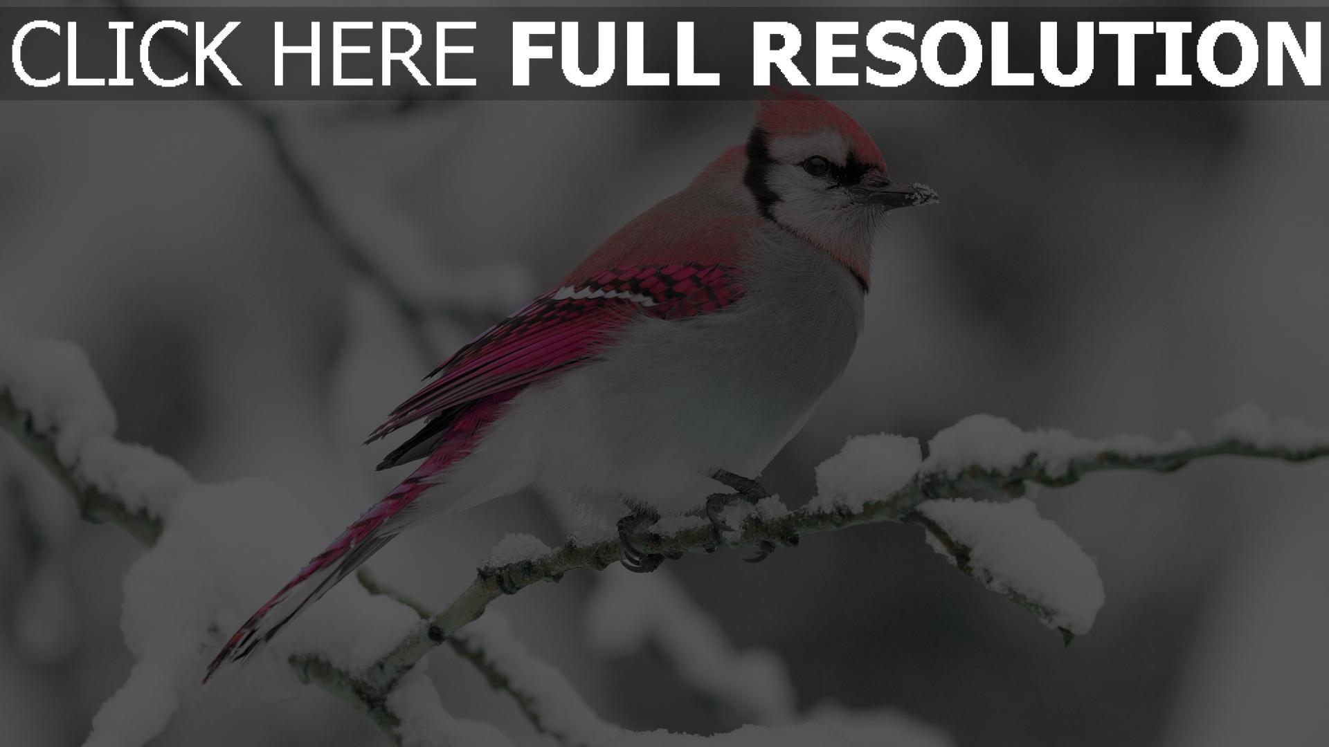 Fond D Ecran Hd Oiseau Rose Branche Enneige Images Et Photos