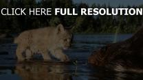 chaton castor rivière humide