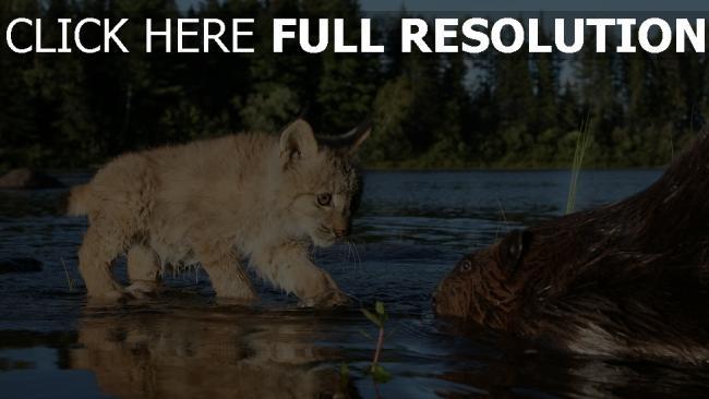 fond d'écran hd chaton castor rivière humide