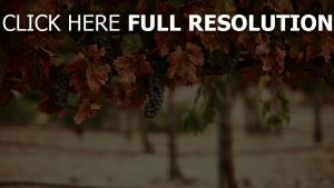 raisins automne arrière-plan flou
