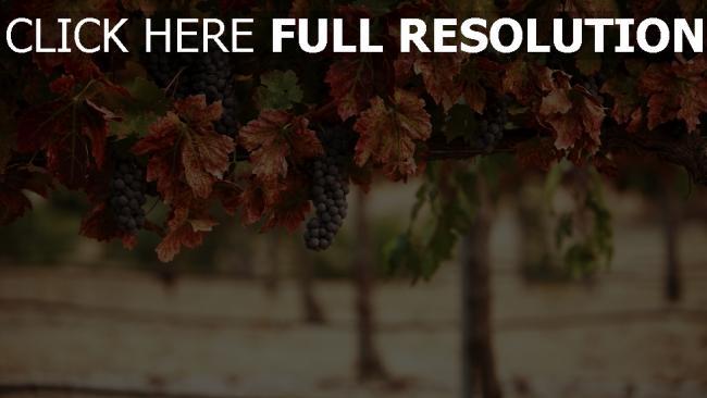fond d'écran hd raisins automne arrière-plan flou