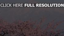 sakura horizon fujiyama japon