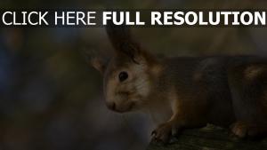 écureuil museau arrière-plan flou