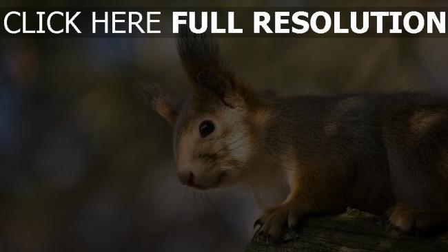 fond d'écran hd écureuil museau arrière-plan flou