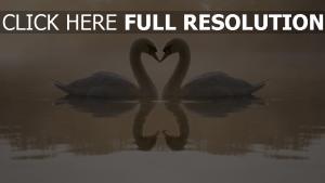 cygne lac cœur réflexion