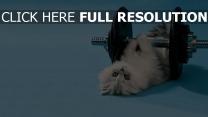 chaton haltère museau entraînement