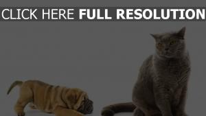 chat imperturbable shar pei