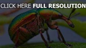 coléoptère bombardier multicolore