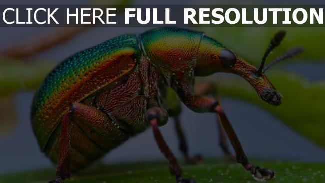 fond d'écran hd coléoptère bombardier multicolore