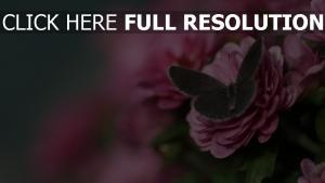 papillon rose pétale