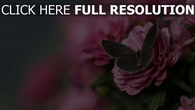 fond d'écran hd papillon rose pétale