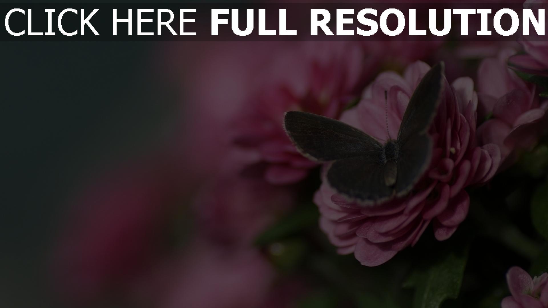 fond d'écran 1920x1080 papillon rose pétale